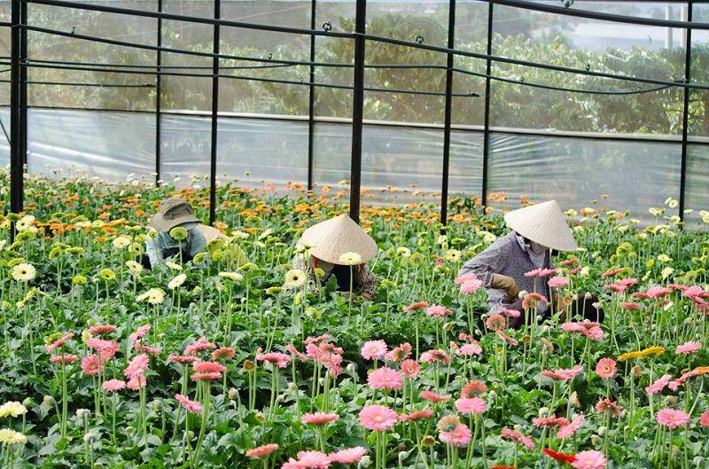 những cánh hoa đồng tiền đang khoe sắc trong nắng vàng ở cánh đồng hoa của làng hoa Vạn Thành