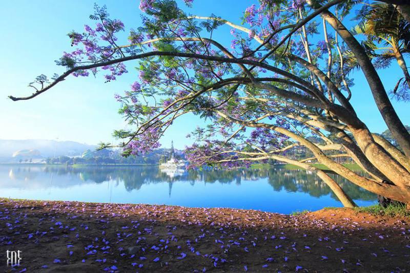 Phượng tím bên bờ hồ xuân hương