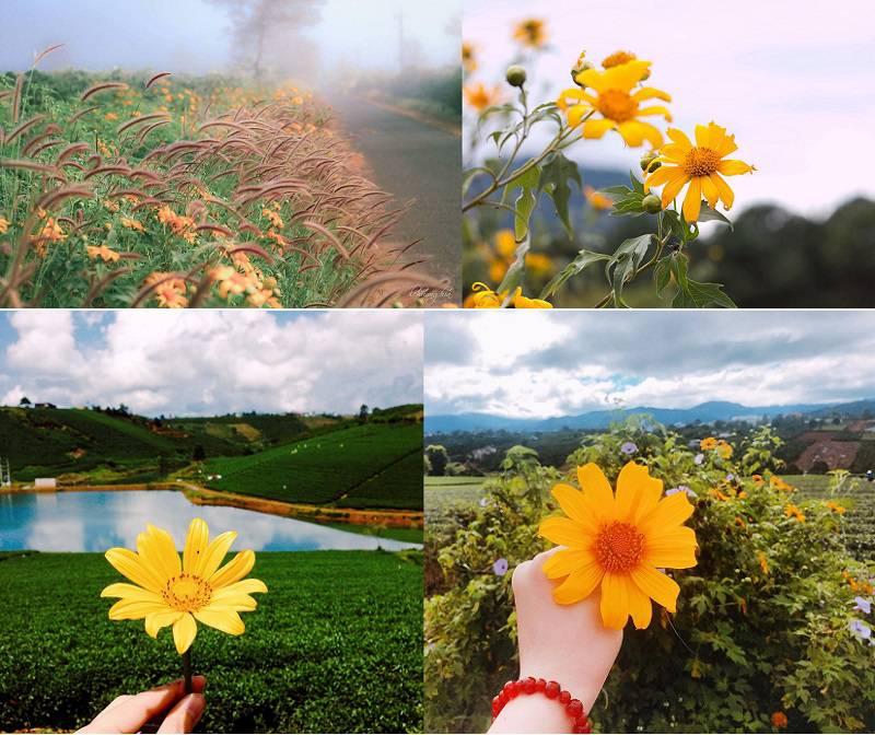 Mùa hoa Dã Quỳ ở Đà Lạt nở đẹp nhất bắt đầu từ cuối tháng 10 đến cuối tháng 11