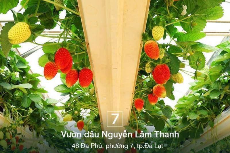 Vườn dâu tây Nguyễn Lâm Thanh Đà Lạt