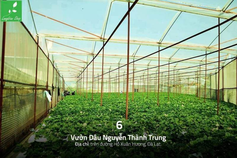 Vườn dâu Nguyễn Thành Trung Đà Lạt