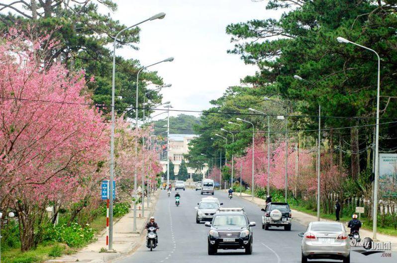 Đà Lạt tháng 2- mùa hoa Anh Đào nở rộ khắp các con phố