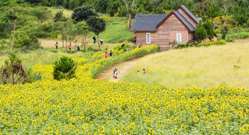 cánh đồng hoa hướng dương tại đà lạt milk farm