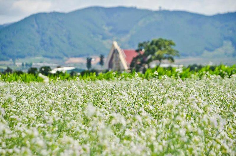 đồng hoa cải trắng Đà Lạt
