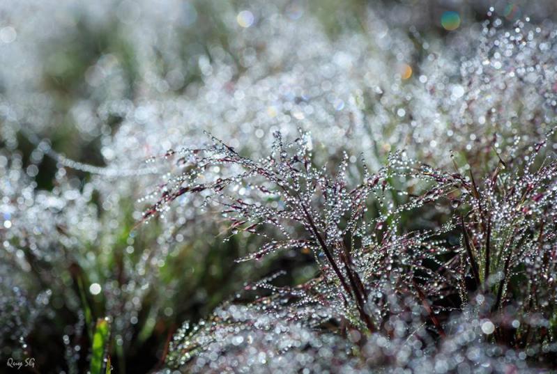 Sương đọng trên bông cỏ hồng