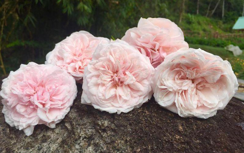 Hoa hồng cổ nở đẹp ở điền trang