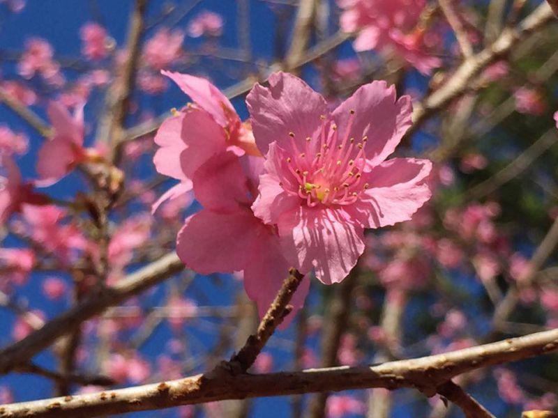 Hoa đào japan ở hoa sơn điền trang