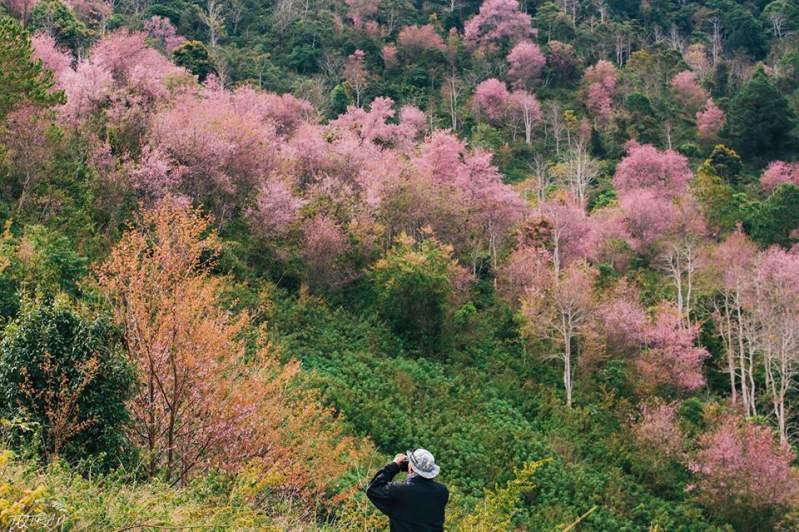 Hoa mai anh đào ở Đà Lạt