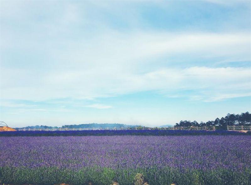 Cảnh đồng hoa Lavender ở Đà Lạt