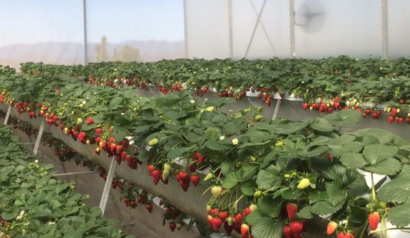Vườn dâu tây hoa thắng thịnh
