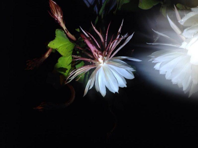 Hoa Quỳnh hương nở rất đẹp vào buổi tối tại Củi homestay