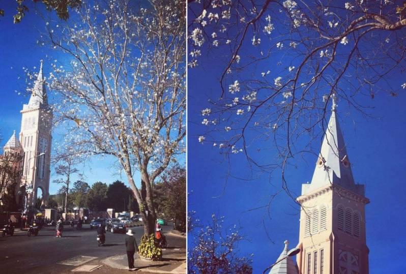 Hoa ban trắng Đà Lạt thường nở vào tháng 3