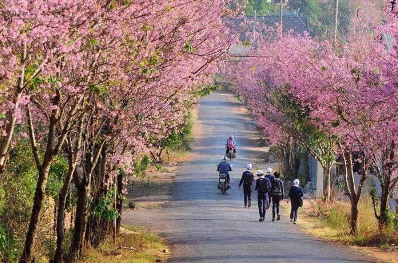 Mai Anh Đào nở rộ trên khắp các cung đường ở Đà Lạt vào tháng 2