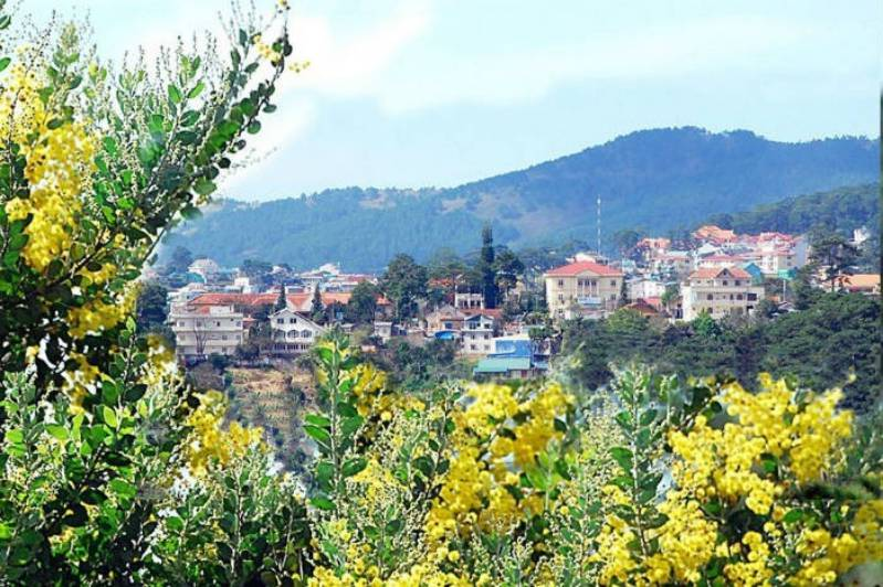 Mùa Đông Đà Lạt và hoa Mimosa nở khắp nơi