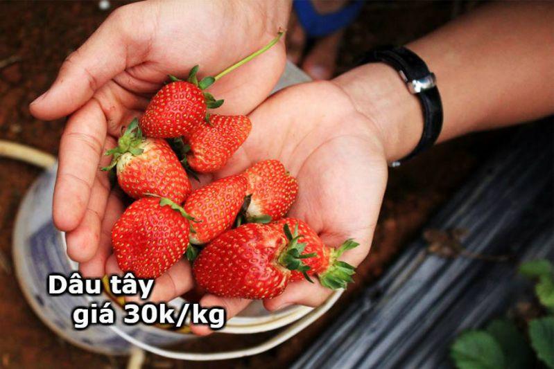 Nhiều người bị lừa vì cái giá Dâu tây 30k/kg ở Đà Lạt
