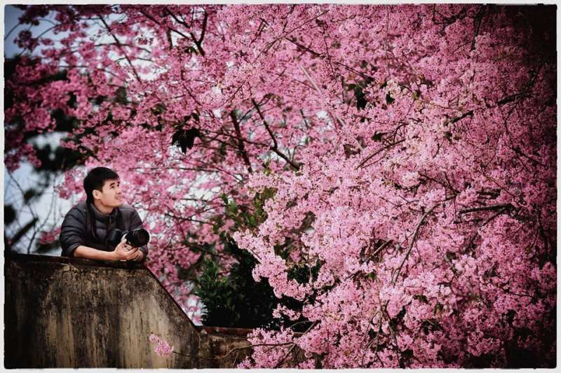 Ngắm hoa mai Anh Đào Đà Lạt vào tháng 2