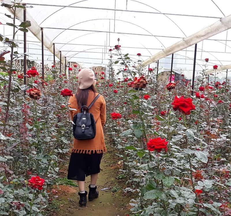 những cánh hoa hồng khoe sắc ở làng hoa Vạn Thành