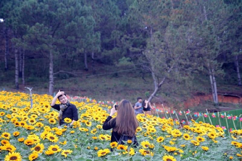 không gian làng hoa vạn thành đà lạt ngập tràn sắc vàng của hoa hướng dương