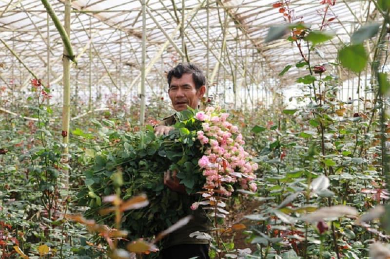 Người dan đang thu hoạch những bông hoa hồng ở vườn hoa của mình