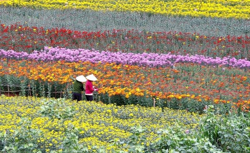 làng hoa Vạn Thành với hàng ngàn bông hoa khoe sắc, lung linh trong ánh nắng vàng