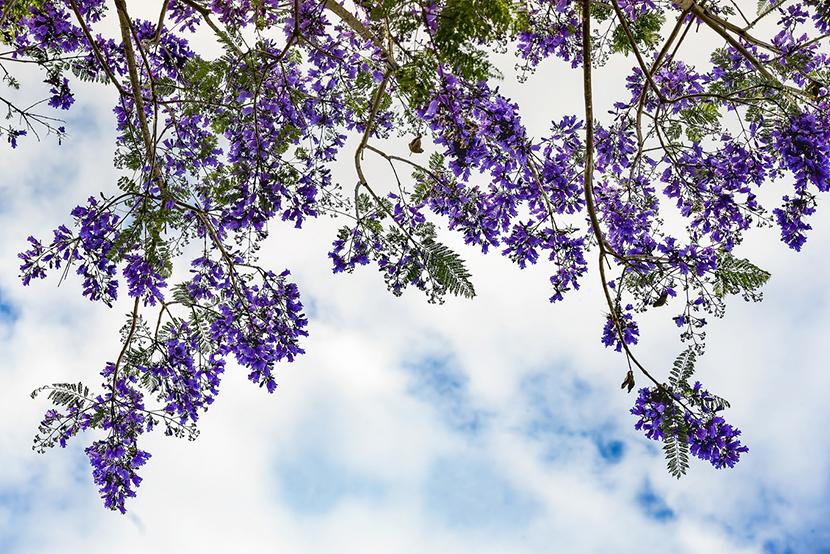 mùa hoa phượng tím đà lạt