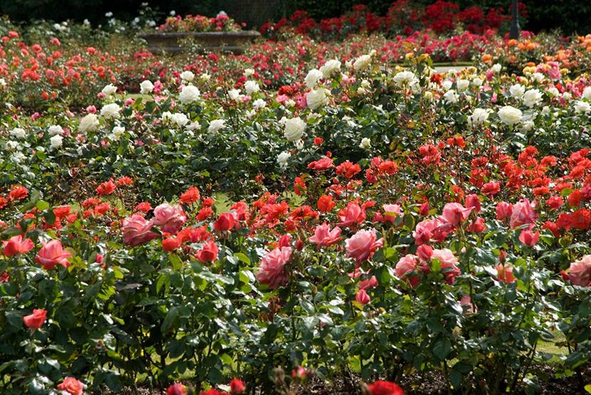 tham quan vườn hoa hồng Đà Lạt