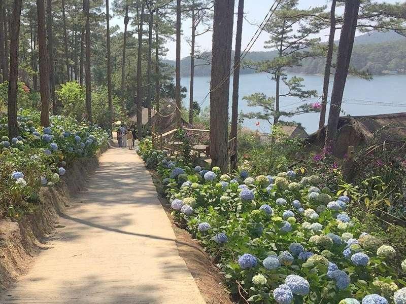 Hình ảnh những bông hoa cẩm tú cầu trên đường vào Happy Hill