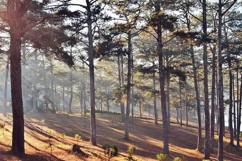 Vẽ đẹp lung linh trong ánh nắng vàng ở rừng thông Đà Lạt