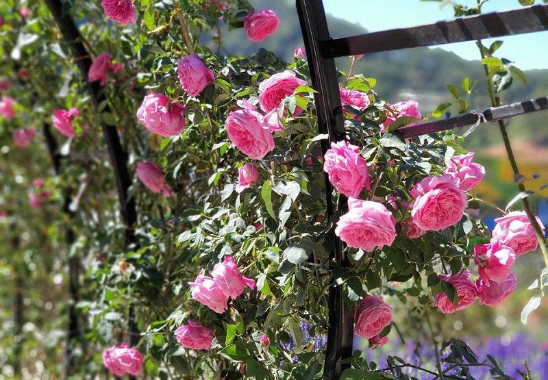 những cánh hoa hồng khoe sắc ở vườn Thượng Uyển Bay