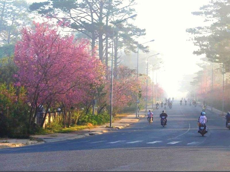 Địa điểm ngắm hoa Mai Anh Đào Đà Lạt